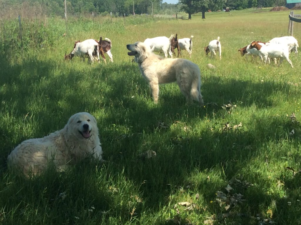 Boer goats with two Maremma Sheepdogs lying in the shade