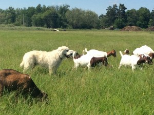 Terex and goats
