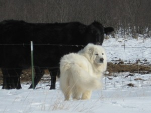 2008-Maremma-pups-049w-1