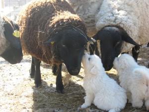 2008-Maremma-pups-082