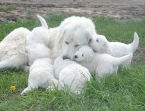 Maremma-pups-2006-076