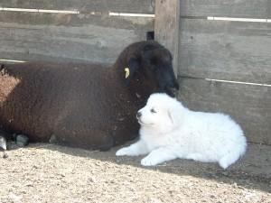 sheepdogs-2006-020