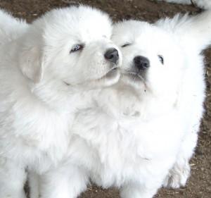 sheepdogs-2006-047-1